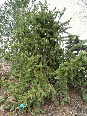 Крупномер Сосна остистая (Pinus aristata)