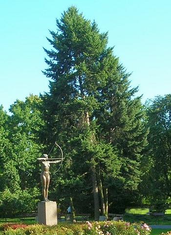 Хвойный крупномер Сосна кедровая европейская (Кедр европейский) (Pinus cembra)