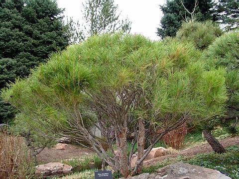 Хвойный крупномер Сосна густоцветная (Сосна густоцветковая, Сосна красная японская) (Pinus densiflora)