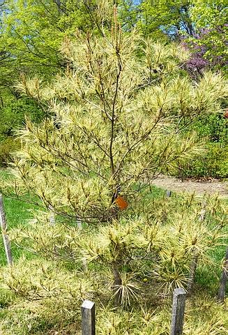 Хвойный крупномер Сосна густоцветная (Сосна густоцветковая, Сосна красная японская) Окулюс-Драконис (Pinus densiflora 'Oculus-Draconis')