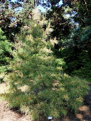 Хвойный крупномер Сосна густоцветная (Сосна густоцветковая, Сосна красная японская) Ступка Санбёрст (Pinus densiflora 'Stupka's Sunburst')