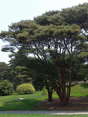Хвойный крупномер Сосна густоцветная (Сосна густоцветковая, Сосна красная японская) Умбракулифера (Pinus densiflora 'Umbraculifera')