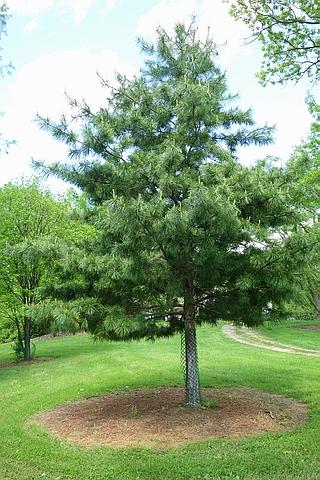 Хвойный крупномер Сосна кедровая корейская (Кедр корейский, Кедр маньчжурский) (Pinus koraiensis)