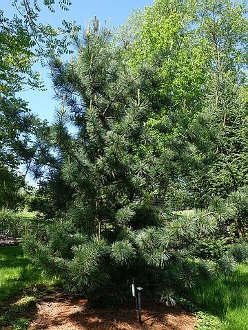 Хвойный крупномер Сосна кедровая корейская (Кедр корейский, Кедр маньчжурский) Моррис Блю (Pinus koraiensis 'Morris Blue')