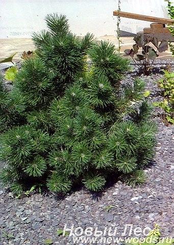 Крупномер Сосна горная Гном (Pinus mugo 'Gnom')