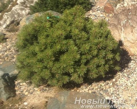 Хвойный крупномер Сосна горная Мини Мопс (Pinus mugo 'Mini Mops')