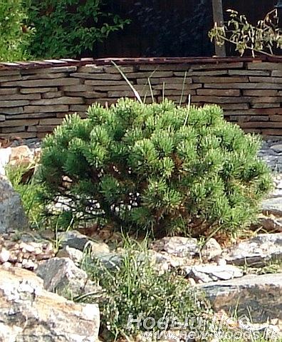 Крупномер Сосна горная Мопс (Pinus mugo 'Mops')