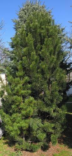 Хвойный крупномер Сосна горная подвид ротундата (Pinus mugo subsp. rotundata)