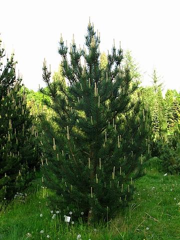 Хвойный крупномер Сосна горная подвид унцината (древовидная) (Pinus mugo subsp. uncinata)