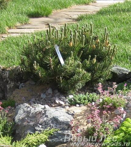 Хвойный крупномер Сосна горная разновидность пумилио (Pinus mugo var. pumilio)