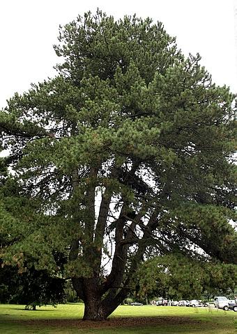 Хвойный крупномер Сосна черная (Сосна чёрная австрийская) подвид нигра (черная) (Pinus nigra subsp. nigra)