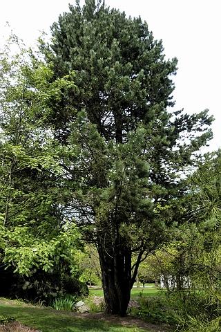 Хвойный крупномер Сосна черная (Сосна чёрная австрийская) подвид палласиана (Палласа) - Сосна Крымская (Pinus nigra subsp. pallasiana)