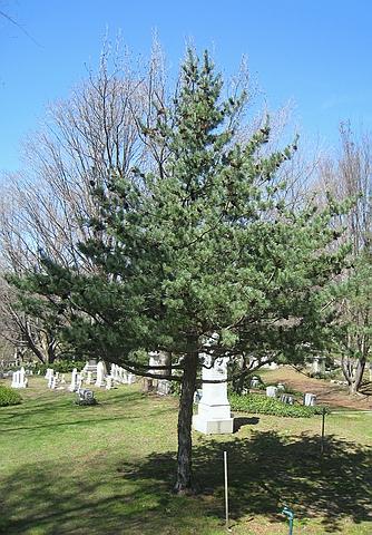 Хвойный крупномер Сосна белая японская (Сосна мелкоцветная, Сосна мелкоцветковая) (Pinus parviflora)