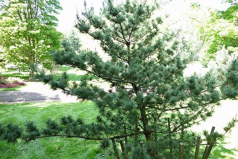 Хвойный крупномер Сосна белая японская (Сосна мелкоцветная, Сосна мелкоцветковая) Бергман (Pinus parviflora 'Bergman')