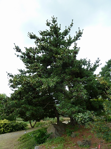Хвойный крупномер Сосна белая японская (Сосна мелкоцветная, Сосна мелкоцветковая) Глаука (Pinus parviflora 'Glauca')