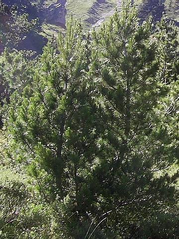 Хвойный крупномер Сосна балканская (Сосна румелийская, Сосна македонская) (Pinus peuce)