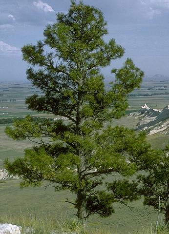 Крупномеры хвойные Сосна желтая (Сосна тяжелая, Сосна орегонская)