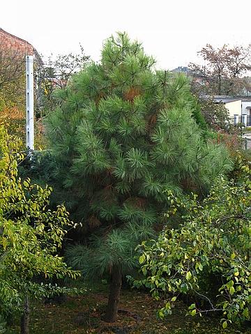 Хвойный крупномер Сосна желтая (Сосна тяжелая, Сосна орегонская) подвид пондероса (Pinus ponderosa subsp. ponderosa)