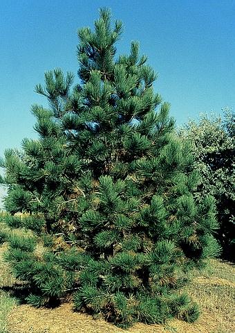 Хвойный крупномер Сосна желтая (Сосна тяжелая, Сосна орегонская) подвид скопулорум (Pinus ponderosa subsp. scopulorum)