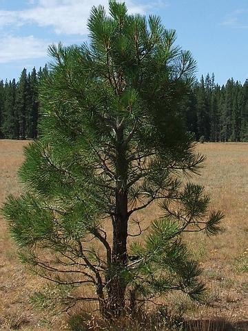 Крупномеры хвойные Сосна желтая (Сосна тяжелая, Сосна орегонская) подвид бентамиана