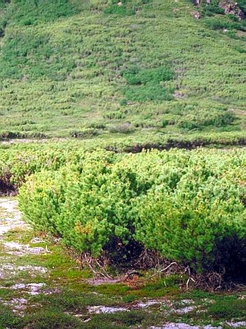 Хвойный крупномер Сосна стелющаяся (Сосна стланиковая, Кедровый стланик) (Pinus pumila)
