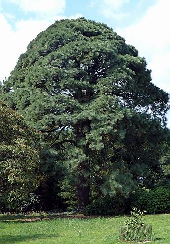 Хвойный крупномер Сосна лучистая (Pinus radiata)