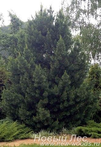 Хвойный крупномер Сосна сибирская кедровая (Кедр сибирский) (Pinus sibirica)