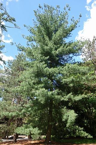 Крупномер Сосна веймутова (Сосна белая восточная) (Pinus strobus)