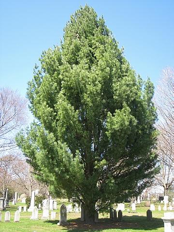 Хвойный крупномер Сосна веймутова (Сосна белая восточная) Фастигиата (Pinus strobus 'Fastigiata')