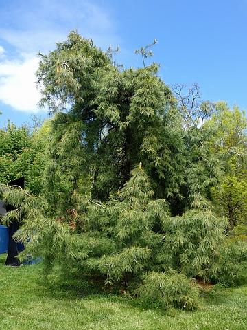 Крупномер Сосна веймутова (Сосна белая восточная) Пендула (Pinus strobus 'Pendula')
