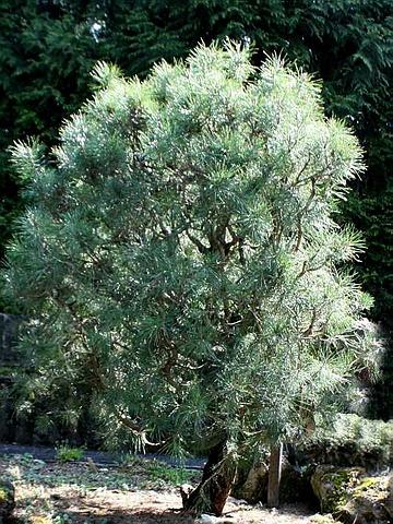 Крупномер Сосна обыкновенная Ватерери (Pinus sylvestris 'Watereri')