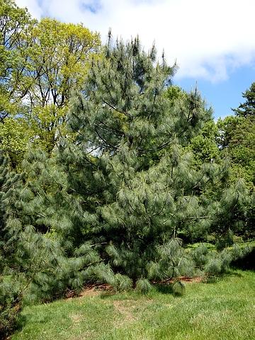 Хвойный крупномер Сосна гималайская (Сосна Валлиха, Сосна бутанская, Сосна веймутова гималайская) (Pinus wallichiana)