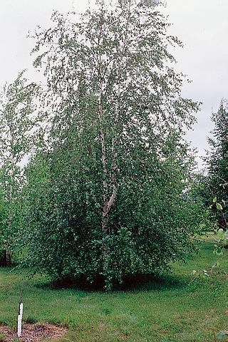 Крупномер лиственный Береза бумажная