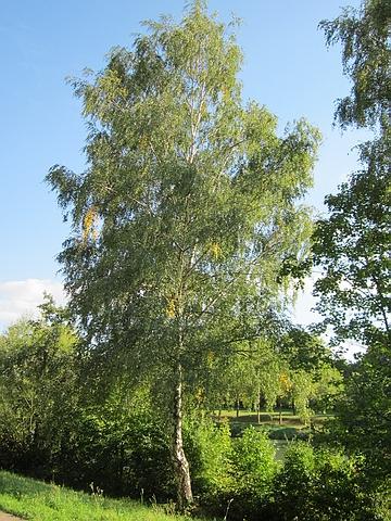 Крупномеры лиственные Береза повислая