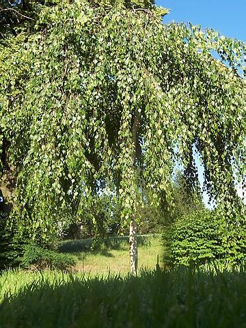 Крупномеры лиственные Берёза повислая Юнга (Юнги)