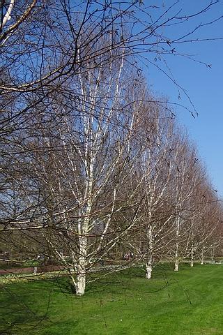 Крупномеры лиственные Береза полезная Доренбос