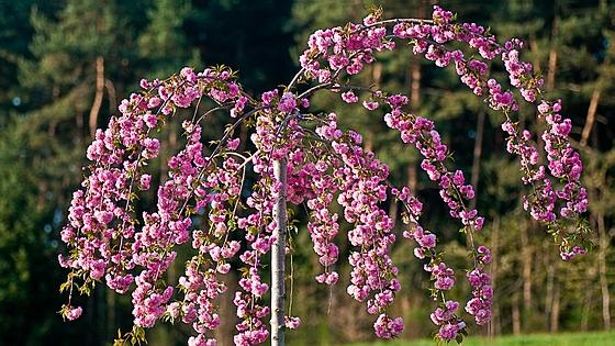 Крупномеры лиственные Вишня мелкопильчатая (Сакура) Кику Шидаре (Prunus serrulata 'Kiku-shidare')