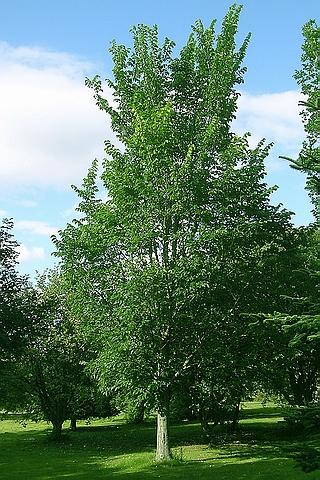 Крупномер лиственный Вяз Додоенс