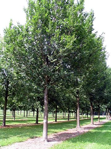 Крупномер лиственный Вяз Лобел