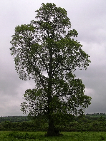 Крупномер лиственный Вяз малый