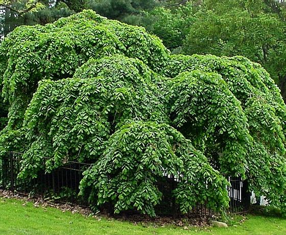 Крупномер лиственныЙ Вяз шершавый Кампердоуни
