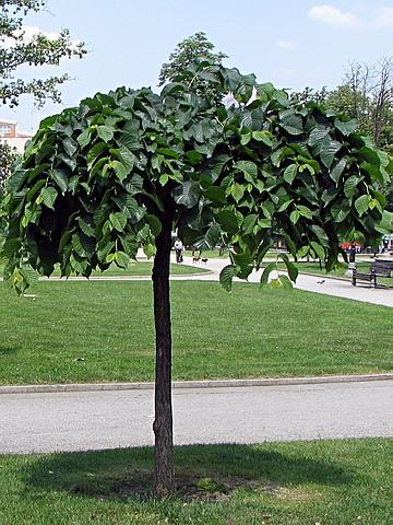 Крупномеры лиственные Вяз шершавый Пендула