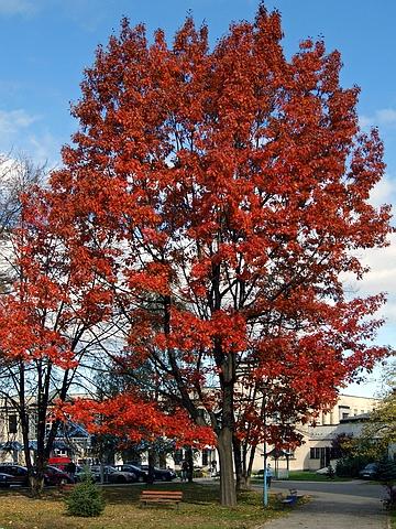 Крупномеры лиственные Дуб красный