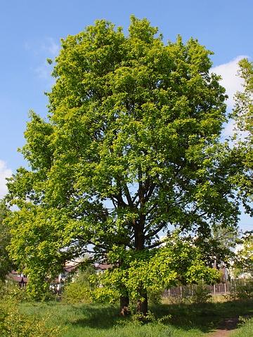 Крупномеры лиственные Дуб черешчатый