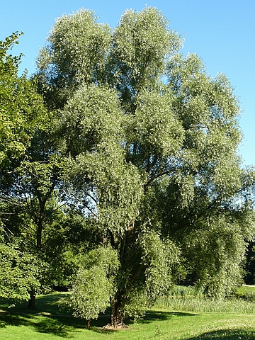 Крупномеры лиственные Ива белая