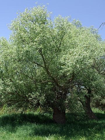 Крупномеры лиственные Ива ломкая