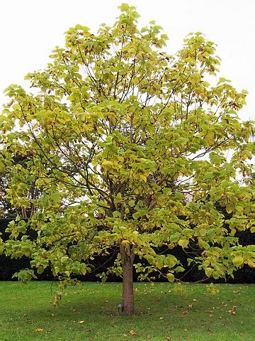 Крупномер лиственный Катальпа бигнониевидная