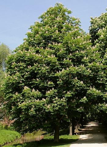Крупномеры лиственные Каштан конский