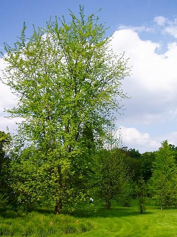 Крупномеры лиственные Клен серебристый (сахаристый)