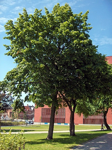 Крупномеры лиственные Липа